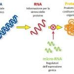 Problemi di cuore? La risposta nei Micro-RNA
