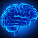 Una proteina alla base dello sviluppo della corteccia cerebrale